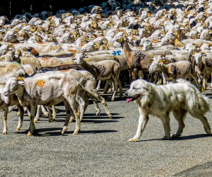 A Wolf in Sheeps Clothing