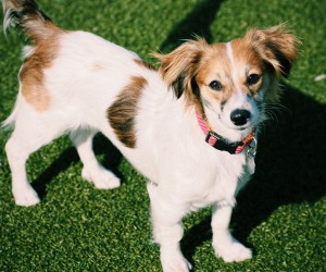 Ankle Commandos: The 13 Best Small Dog Breeds To Own