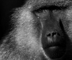 Black and White Zoo Portraits by Boza Ivanovic