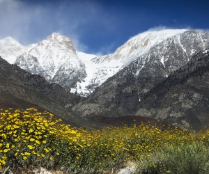 Brittlebush Goodale Mountain by Dave Weber