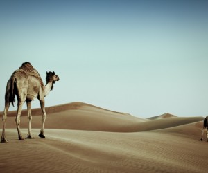 Camels are Awesome