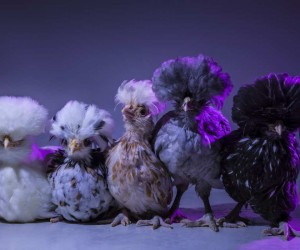 Chic Chicks Project by Dan Bannino