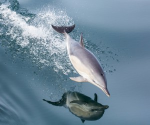 Common Dolphin in flight by James West