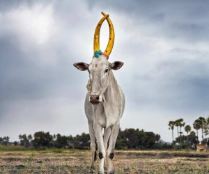 Daniel Naud Captures A Celebration Of The Sacred Cattle