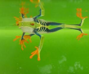 Macro Photos of Frogs by Nicolas Reusens