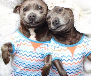 Meet The Blueboys, Two Staffies That Will Melt Your Heart