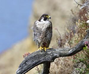 Peregrine Falcon in San Diego, CA by Ramakrishna Janaswamy