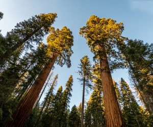 Spectacular shot of Giant Sequoia in Yosemite park