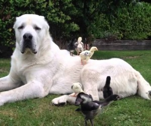 The Largest Dogs In The World with More Bite Than Bark