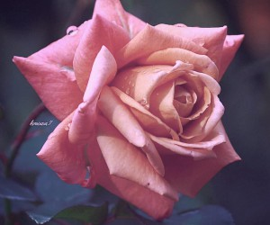 total_roses: Beautiful Pictures of Roses by Kimi Sasa