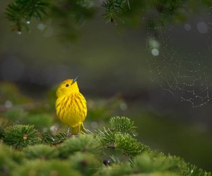 Yellow Warbler by Brad James